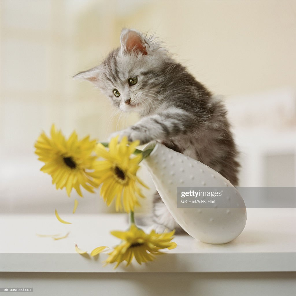 Maine Coon Kitten knocking over yellow flowers in vase : Stock Photo