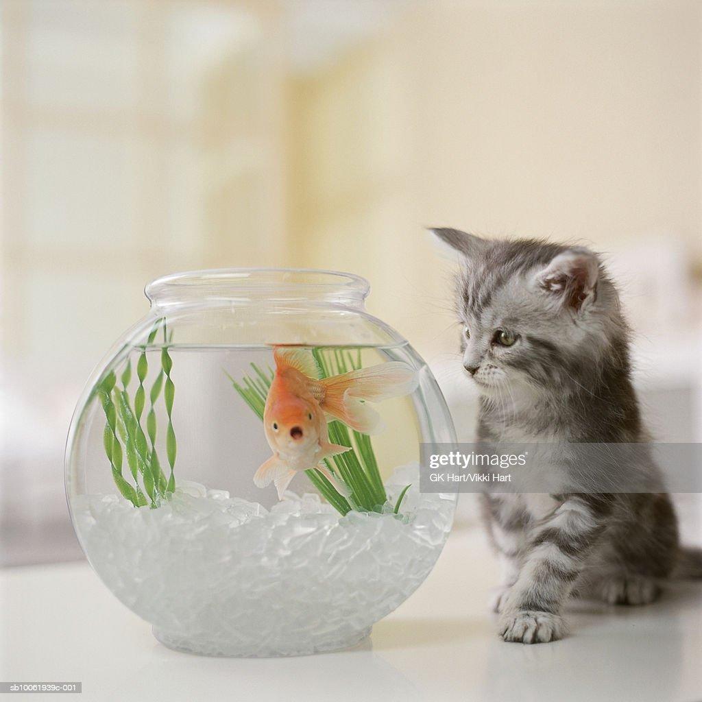 Maine Coon kitten looking at goldfish bowl : Stock Photo