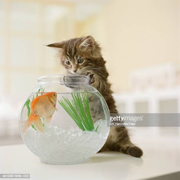 Maine Coon kitten looking at goldfish in fishbowl