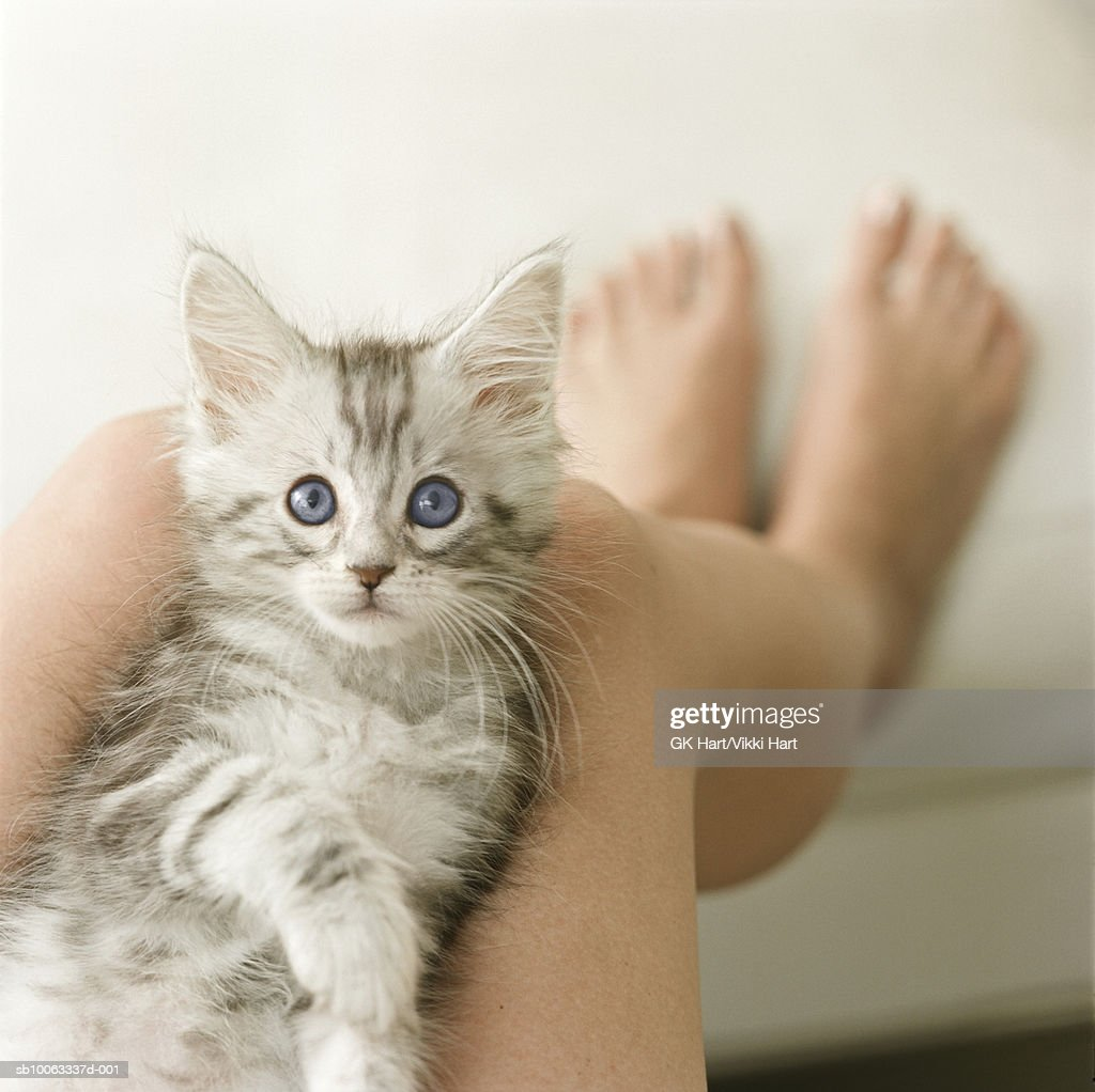 Maine Coon kitten lying on person's legs : Stock Photo