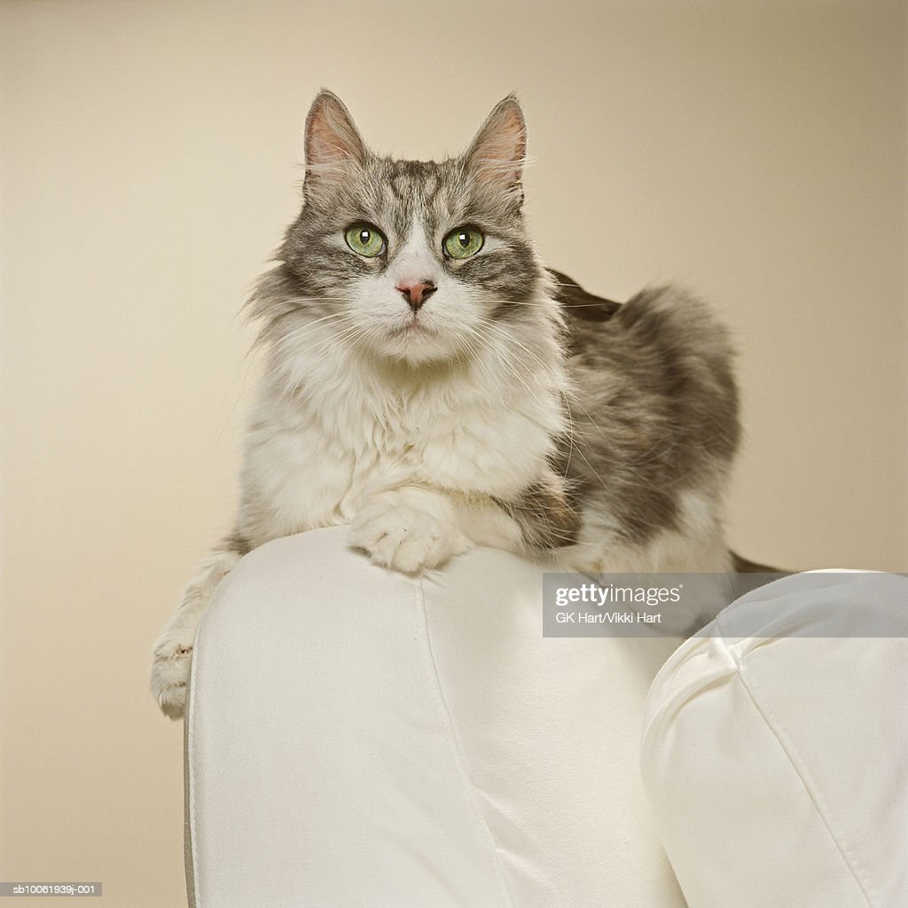 Maine Coon Kitten on arm chair, close-up : Stock Photo