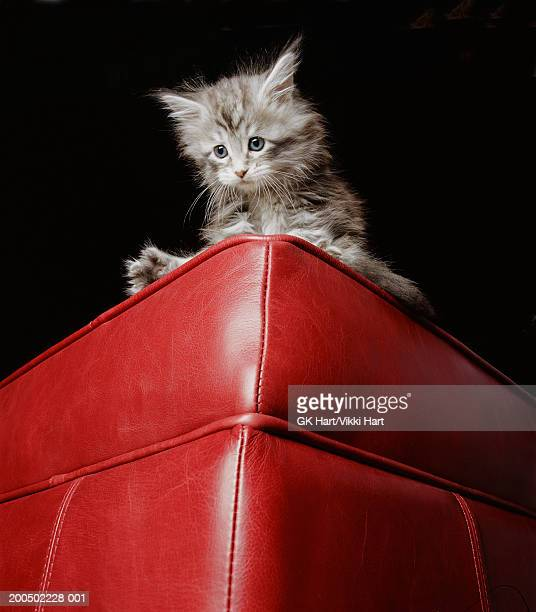 Maine Coon kitten on edge of sofa, low angle view