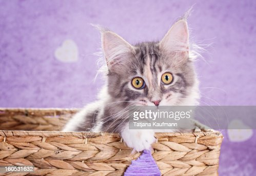 Maine Coon Kitten : Stock Photo
