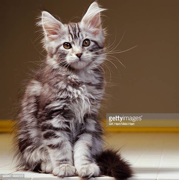 maine coon cat stock photos and pictures