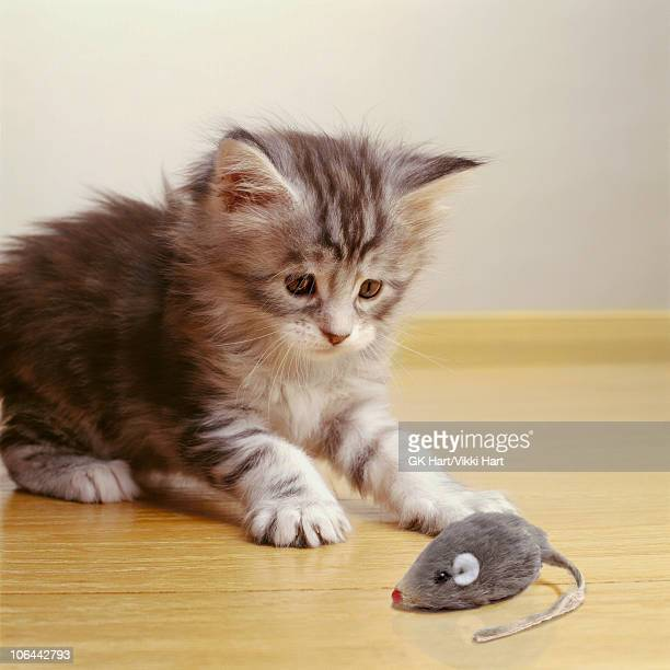 Maine Coon Kitten Playing with Toy Mouse