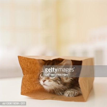 Maine Coon Kitten sitting in paper bag, close-up : Stock Photo