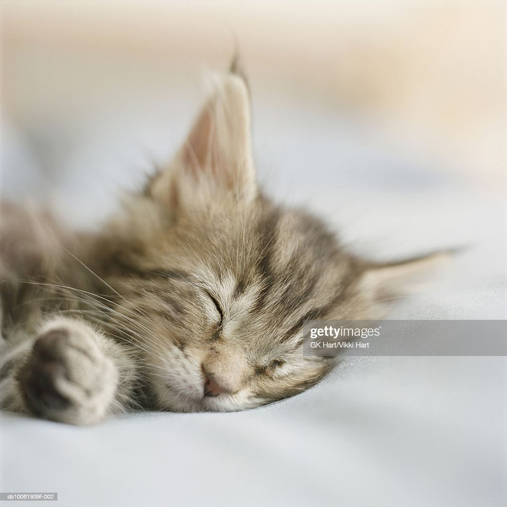 Maine Coon kitten sleeping on bed in bedroom (differential focus) : Stock Photo
