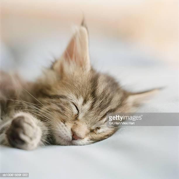 Maine Coon kitten sleeping on bed in bedroom (differential focus)