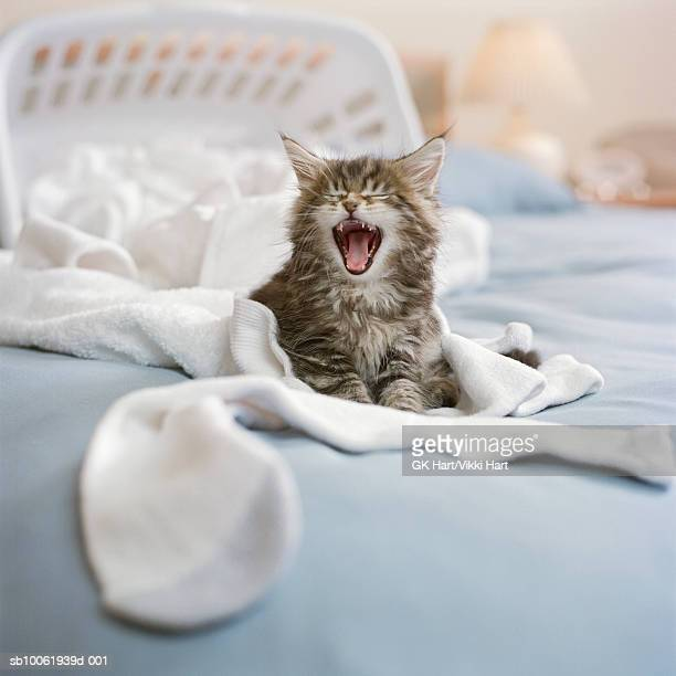 Maine Coon Kitten with laundry basket on bed, screaming