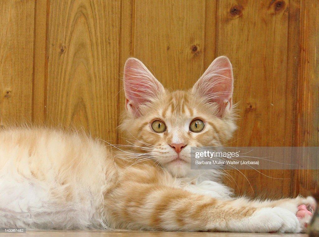 Maine coon kitty : Stock Photo