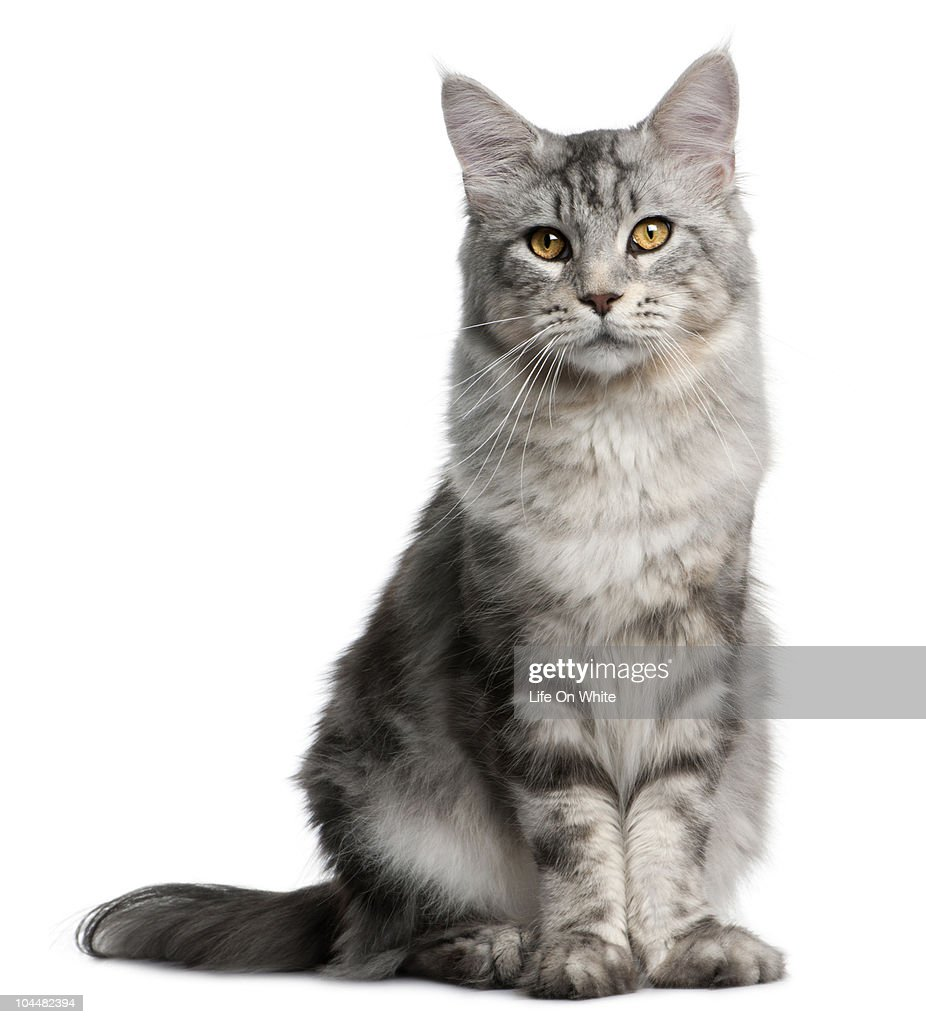 Maine Coon (13 months old) : Stock Photo