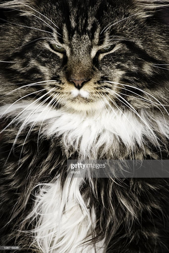 Maine Coon : Stock Photo