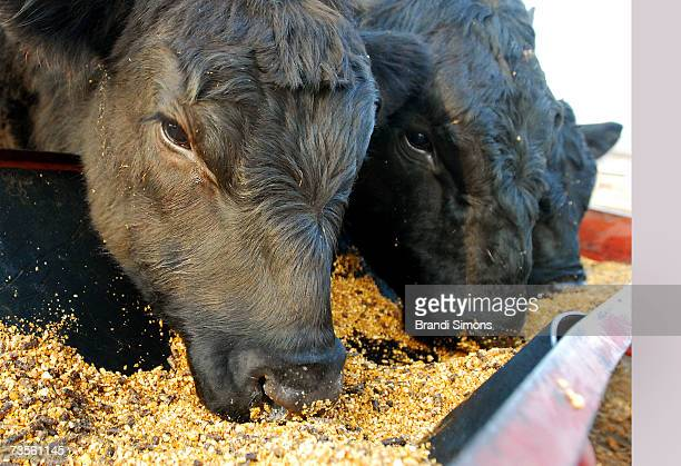 MaineAnjou bulls feed on a fattener feed that includes corn at Kornegay Cattle Co March 13 2007 in Owasso Oklahoma Kornegay is in the midst of the...
