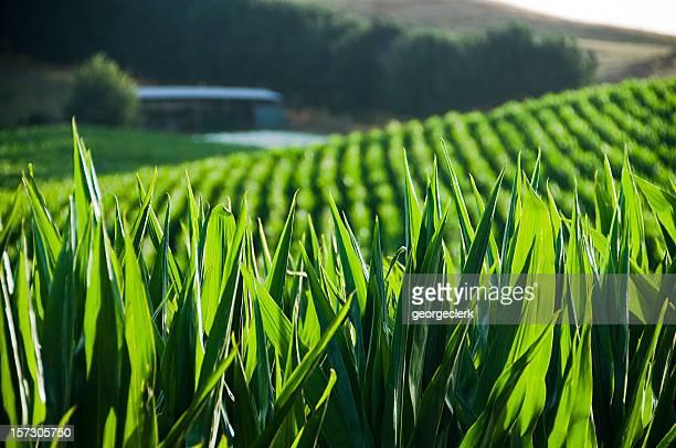 Maize Foreground
