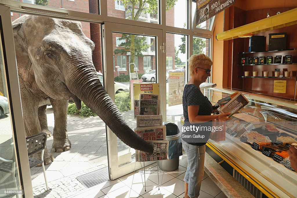 Maja, a 40-year-old elephant, extends her trunk into a bakery as a customer buys a newspaper while Maja took a stroll through the neighborhood with her minders from a nearby circus on July 1, 2016 in Berlin, Germany. Maja performs daily at Circus Busch and circus workers take her on walks among the nearby apartment buildings to vacant lots where she likes to eat the grass. City authorities sanction the outings and federal regulations reportedly encourage activities for elephants to stimulate the animals' cognitive awareness.