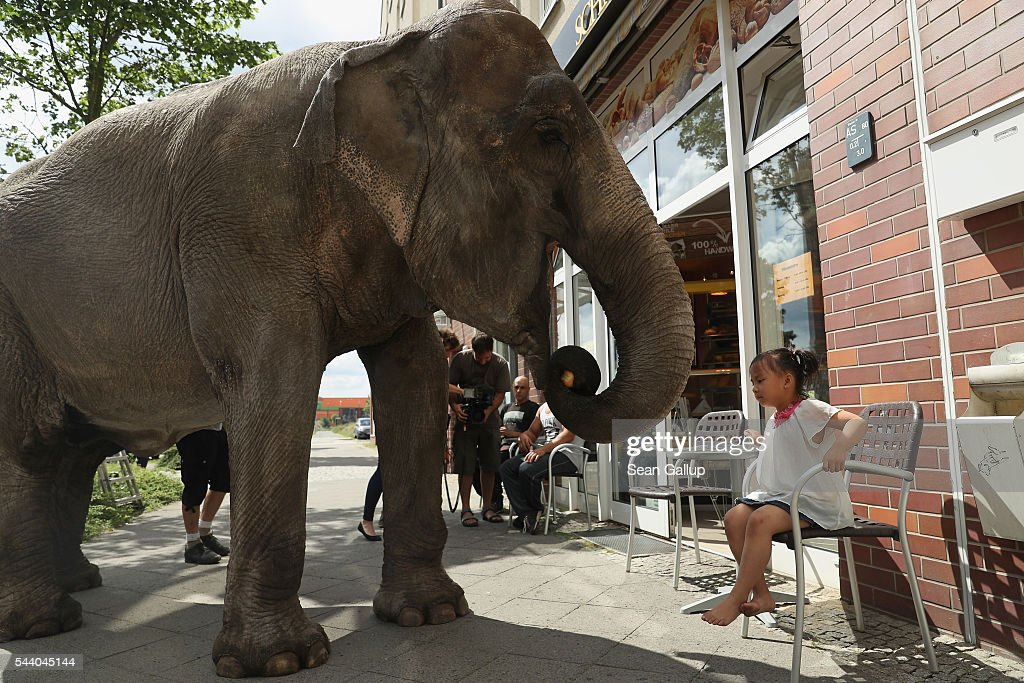 Maja, a 40-year-old elephant, munches on rolls outside a bakery as a local little girl looks on while Maja took a stroll through the neighborhood with her minders from a nearby circus on July 1, 2016 in Berlin, Germany. Maja performs daily at Circus Busch and circus workers take her on walks among the nearby apartment buildings to vacant lots where she likes to eat the grass. City authorities sanction the outings and federal regulations reportedly encourage activities for elephants to stimulate the animals' cognitive awareness.