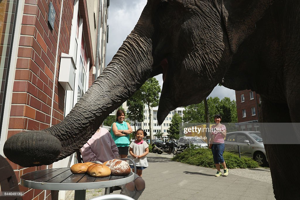 Maja, a 40-year-old elephant, munches on rolls outside a bakery while she took a stroll through the neighborhood with her minders from a nearby circus on July 1, 2016 in Berlin, Germany. Maja performs daily at Circus Busch and circus workers take her on walks among the nearby apartment buildings to vacant lots where she likes to eat the grass. City authorities sanction the outings and federal regulations reportedly encourage activities for elephants to stimulate the animals' cognitive awareness.