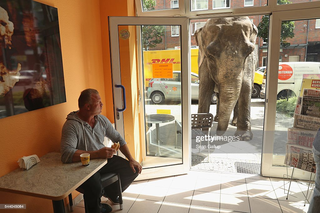Maja, a 40-year-old elephant, peeks into a bakery while one of her minders eats a sandwich during a stroll through the neighborhood with her minders from a nearby circus on July 1, 2016 in Berlin, Germany. Maja performs daily at Circus Busch and circus workers take her on walks among the nearby apartment buildings to vacant lots where she likes to eat the grass. City authorities sanction the outings and federal regulations reportedly encourage activities for elephants to stimulate the animals' cognitive awareness.