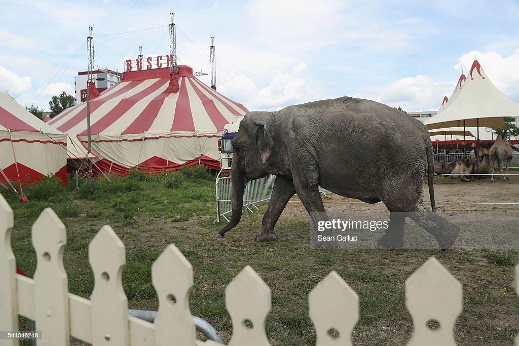 Maja, a 40-year-old elephant, returns to her circus after she took a stroll through the neighborhood with her minders on July 1, 2016 in Berlin, Germany. Maja performs daily at Circus Busch and circus workers take her on walks among the nearby apartment buildings to vacant lots where she likes to eat the grass. City authorities sanction the outings and federal regulations reportedly encourage activities for elephants to stimulate the animals' cognitive awareness.