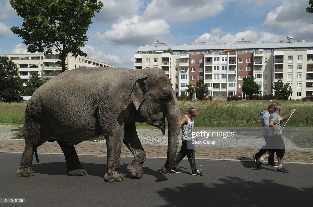 Maja, a 40-year-old elephant, takes a stroll through the neighborhood with her minders from a nearby circus on July 1, 2016 in Berlin, Germany. Maja performs daily at Circus Busch and circus workers take her on walks among the nearby apartment buildings to vacant lots where she likes to eat the grass. City authorities sanction the outings and federal regulations reportedly encourage activities for elephants to stimulate the animals' cognitive awareness.