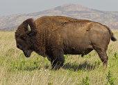 Majestic Bison