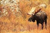 Profile view of a massive bull moose in Montana