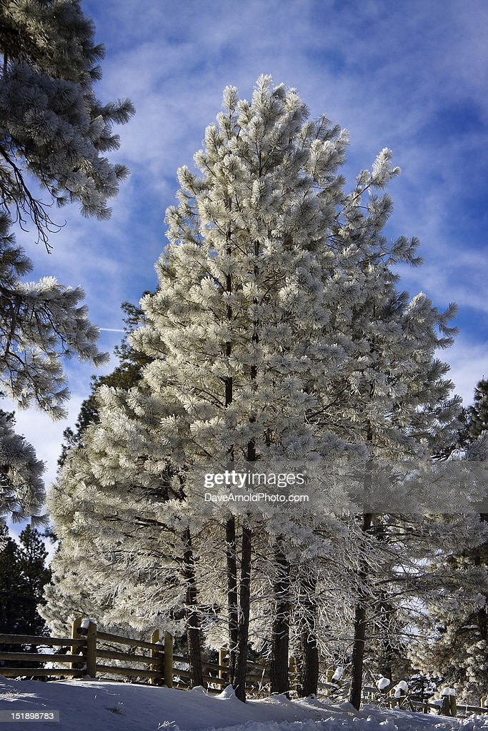 Majestic Frost : Stock Photo