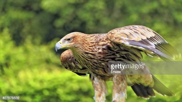 Majestic Golden Eagle Or Imperial Eagle Preparing To Fly