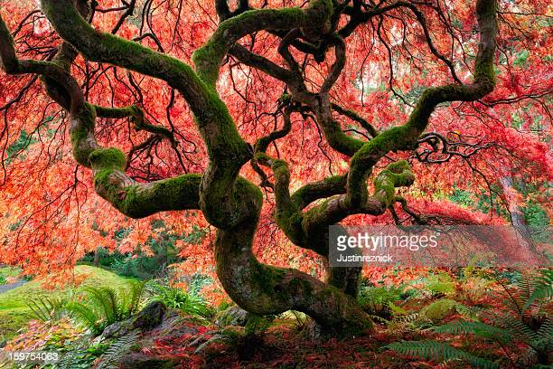 Majestic Japanese Maple with vibrant colors