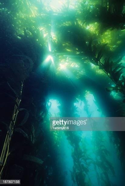 Majestic Kelp