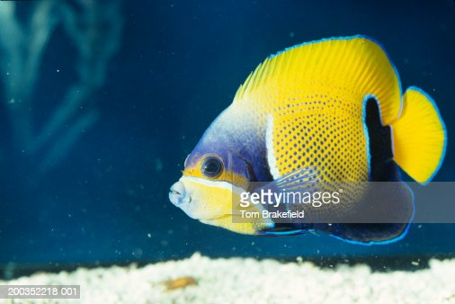 Majestic or blue girdled angelfish (Euxiphipops navarachus, tropical reef fish, Pacific : Stock Photo