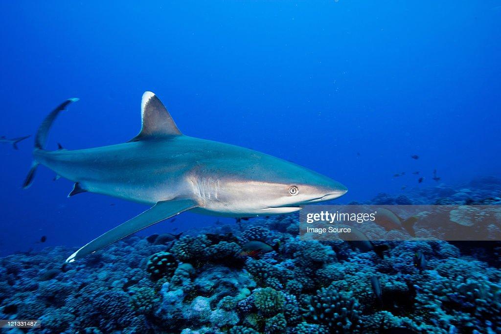 Majestic silvertip shark : Stock Photo