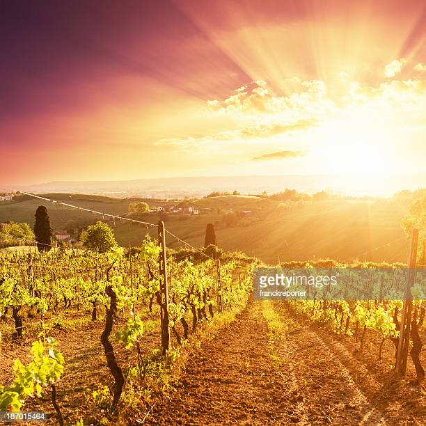 Majestic vineyard at sunset