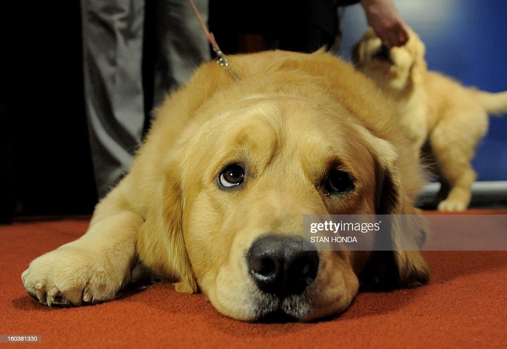 Major, a Golden Retriever, at an American Kennel Club press conference January 30, 2013 in New York where the most popular dogs in the US were announced. The top five are Labrador Retriever, German Shepherd, Golden Retriever, Beagle and Bulldog according to AKC registration statistics. AFP PHOTO/Stan HONDA
