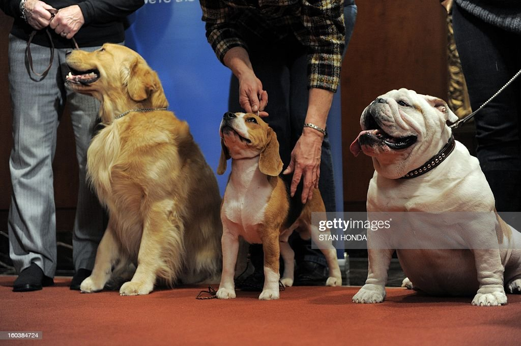 Major (L), a Golden Retriever; Max (C), a Beagle and Munch (R), a Bulldog at an American Kennel Club press conference January 30, 2013 in New York where the most popular dogs in the US were announced. The top five are Labrador Retriever, German Shepherd, Golden Retriever, Beagle and Bulldog according to AKC registration statistics. AFP PHOTO/Stan HONDA