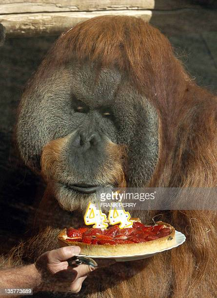 Major an orangatang in captivity at the La BoissiereduDore Zoo blows out his 44th birthday candles 10 August 2006 on a cake prepared by his keeper...