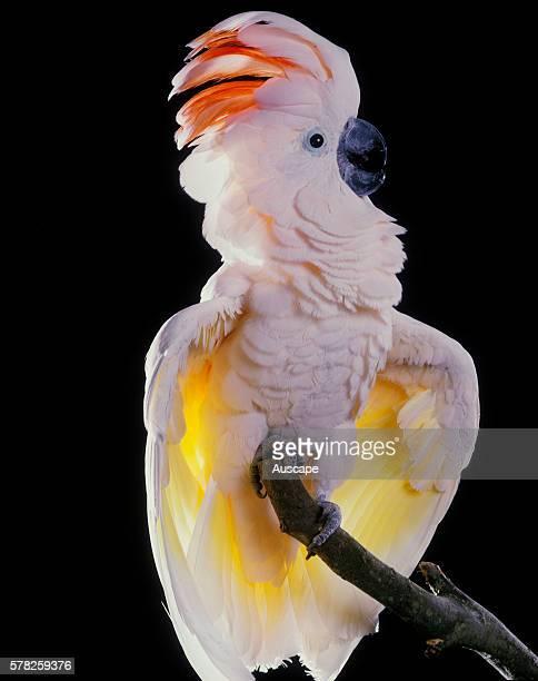 Major Mitchell's cockatoo Cacatua leadbeateri perched with wings slightly raised Native to arid Australia