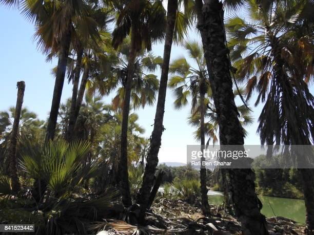 Makalani palms along the Kunene river
