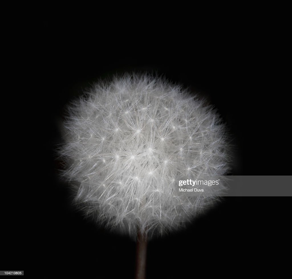 Make a wish on a dandelion : Stock Photo