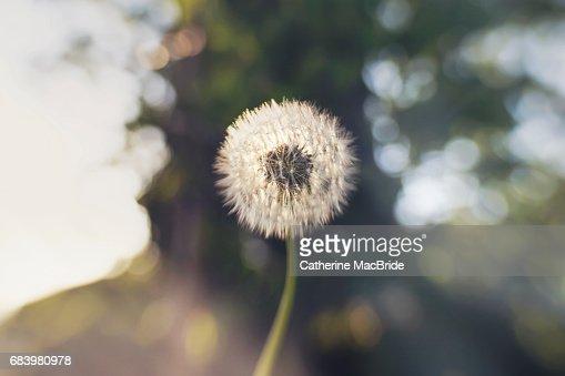Make a wish... : Stock Photo