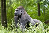 Male silverback gorilla.