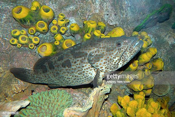 Malabar Grouper or Greasy Grouper -Epinephelus malabaricus-, Red Sea, Egypt