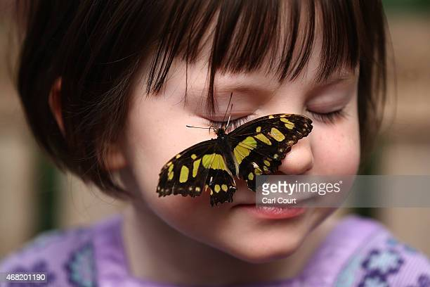 Malachite butterfly lands on the face of a girl during a photocall to highlight the forthcoming 'Sensational Butterflies' exhibition at the Natural...