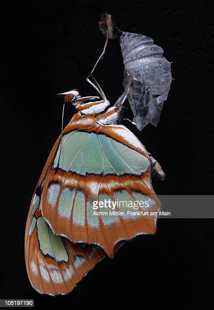 Malachite Butterfly with empty cocoon