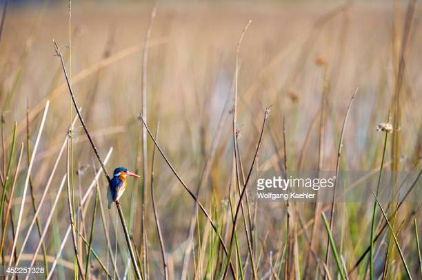 Malachite Kingfisher perched on a reed at the Vumbura Plains in the Okavango Delta in northern part of Botswana