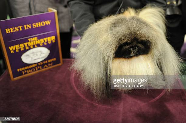 Malachy a Pekingese after winning Best in Show during the 136th Westminster Kennel Club Annual Dog Show held at Madison Square Garden February 14...