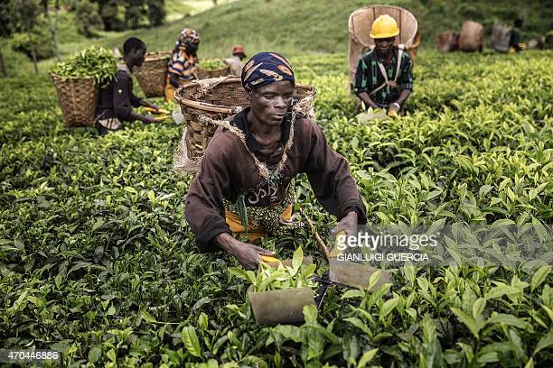 Malawian pluckers work their way through tea plants field at the Makandi Tea Estate factory on April 18 2015 in Thyolo southern Malawi Tobacco and...