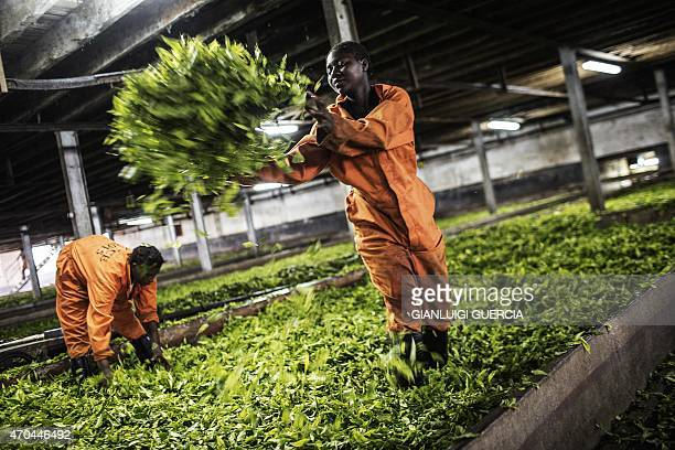 A Malawi's tea factory worker offloads harvested tea leaves at the Makandi Tea Estate factory on April 16 2015 in Thyolo southern Malawi Tobacco and...
