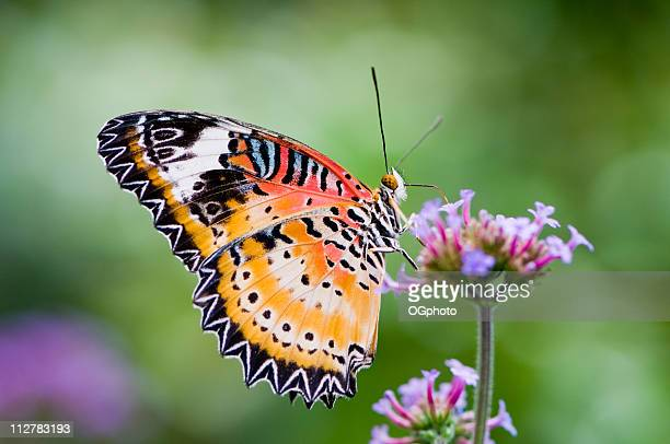 Malay lacewing butterfly on a flower.(Cethosia hypsea)
