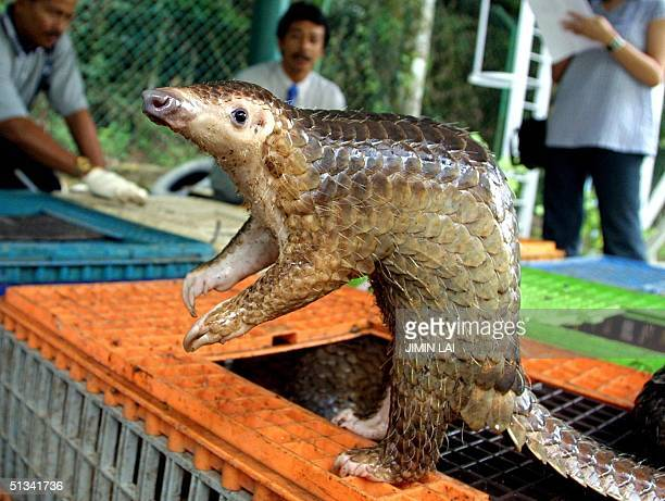 Malayan pangolin is seen out of its cage after being confiscated by the Department of Wildlife and Natural Parks in Kuala Lumpur 08 August 2002...
